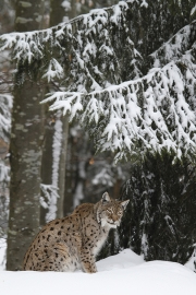 Peter_van_der_Veen-Petersmoments- Lynx in snow 3